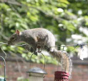 Grey Squirrels damage bird feeders!